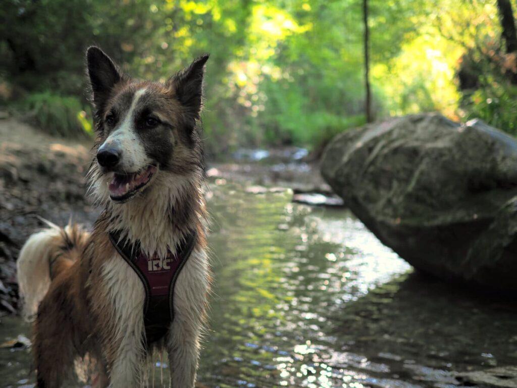 Riera de Vallvidrera con perro