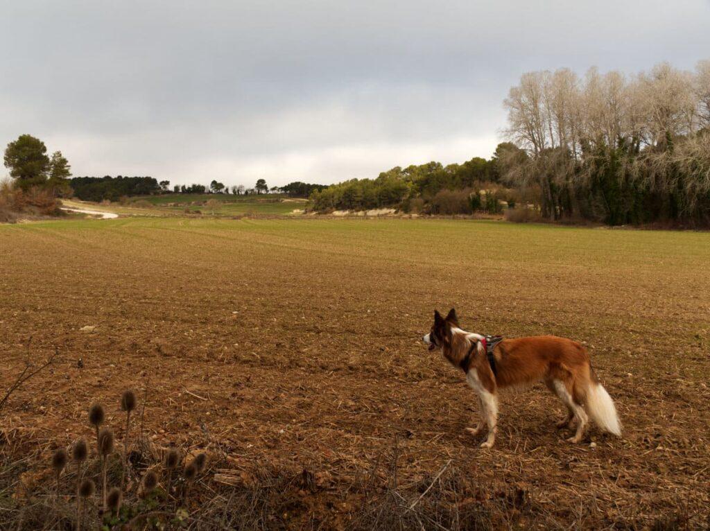 Les Piles con perro